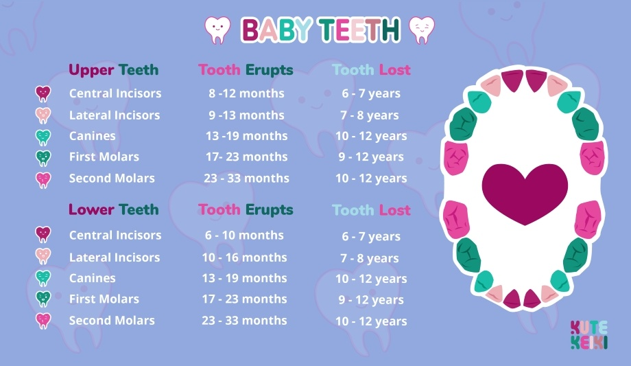 Baby Teeth Order  Infant Teething Chart  Kute Keiki